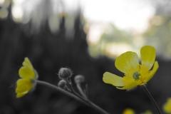 Ranunculus_partcol