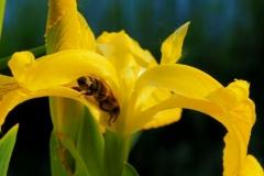 Lilienbiene